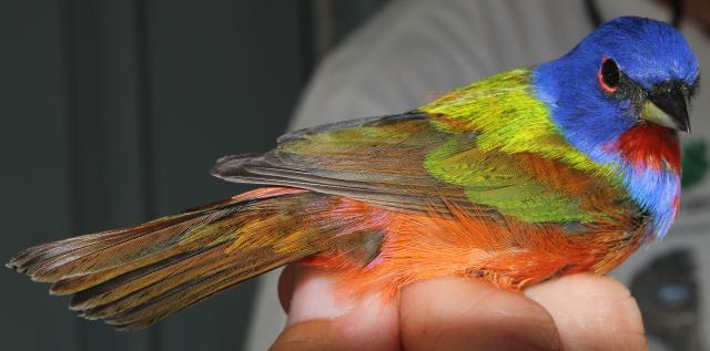 picture of painted bunting