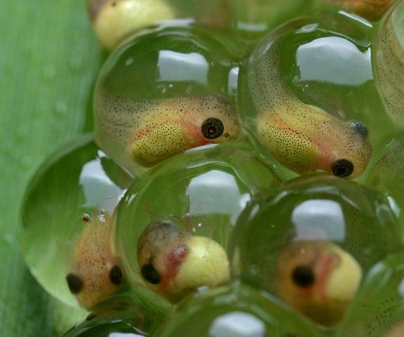 frog eggs